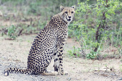 Lone cheetah sitting on a road at dusk looking for prey Stock Images