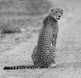 Lone cheetah sitting on a road at dusk looking for prey. Lone cheetah sitting on a road at dusk to look for prey Stock Photo