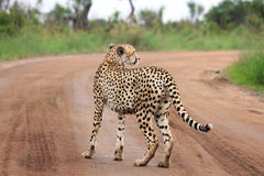 Lone Cheetah Stock Photography