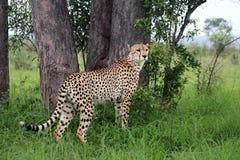 Lone Cheetah Royalty Free Stock Photos