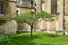 Lone Chestnut Tree in New Court, Trinity College. Lone Chestnut Tree in Tudor-Gothic Style New Court at Trinity College, University of Cambridge, England Royalty Free Stock Image