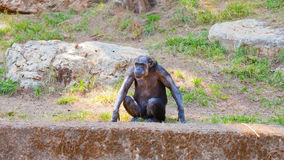 Lone chimpanzee Royalty Free Stock Photography