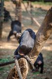 Lone chimpanzee sitting on tree and hugging himself with back to viewer, Sierra Leone, Africa.  royalty free stock photos