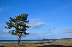Lone coastal pine tree Royalty Free Stock Photography