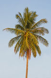Lone Coconut Palm Royalty Free Stock Photography