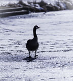 Lone Cold Goose Stock Photography