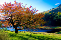 Lone colorful tree in autum colors at peak distric Royalty Free Stock Image
