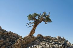 Lone Contorted Pine Tree. Growing on a rocky ridge with blue sky royalty free stock images
