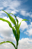 Lone Cornstalk Against a Cloudy Summer Sky. Lone Cornstalk rustling in the breeze on a warm summer day under a cloudy sky Stock Image