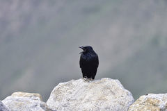 A lone corvus corax standing on the stone sing. Stock Photo