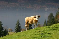 A lone cow Stock Image