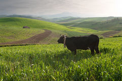 Free Lone Cow Royalty Free Stock Photography - 14042867