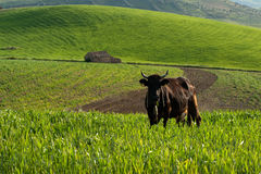 Free Lone Cow Stock Images - 14046014