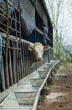 Lone cow. A lone white cow poking its head through the railings of a feeder, within a run down grungy cow shed royalty free stock photo