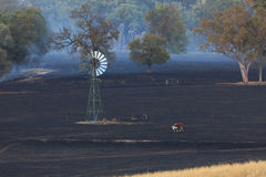 Lone Cow at Bushfire Aftermath Stock Photos
