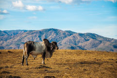 A Lone Cow in the Desert. A cow in the desert with hills behind it Royalty Free Stock Photos