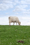 Lone cow feeding on the green grass Stock Photo
