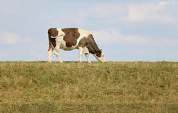 Lone cow grazing on top of a river bank. Stock Photography