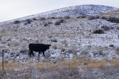 Free Lone Cow In Open Range Stock Images - 146950024