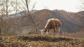 A lone cow with red color is grazing in early autumn. stock footage
