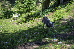 A lone cow search for food on the hill. Stock Images