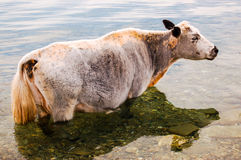 Lone cow standing in water. Lone cow standing in shallows of a lake in northern Mongolia Royalty Free Stock Image