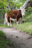 Lone cow on the trail - Chalten - Argentina Royalty Free Stock Images