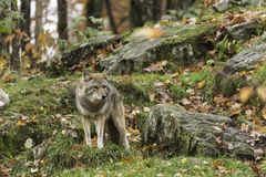 Lone Coyote in a fall, forest environment Royalty Free Stock Photography