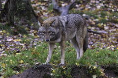 Lone Coyote in a fall, forest environment Stock Photos