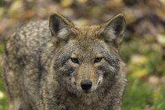 Lone Coyote in a fall, forest environment Stock Photography