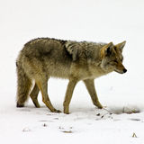 Lone Coyote Foraging for Food Royalty Free Stock Photos