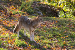 A lone coyote in a forest Stock Image
