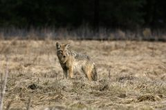 A Lone Coyote in a Meadow Royalty Free Stock Photography