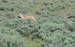 A lone coyote searches for food. Royalty Free Stock Photography