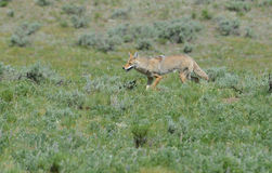 A lone coyote searches for food. Stock Image