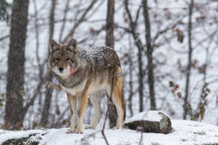 Lone Coyote in a winter landscape Royalty Free Stock Image
