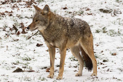 Lone Coyote in a winter landscape Stock Photo