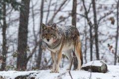 Lone Coyote in a winter landscape Stock Photo