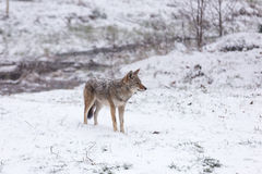 Lone Coyote in a winter landscape Stock Images