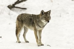 Lone coyote in a winter scene Stock Image