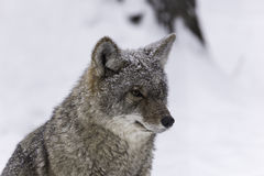A lone coyote in a winter scene Royalty Free Stock Photo