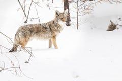 Lone Coyote in a winter scene Stock Photos