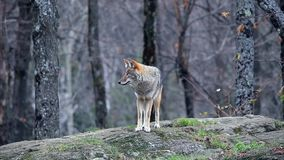 A lone coyote in the woods stock footage