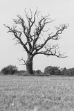 Lone creepy old dead oak tree in field, B&W Royalty Free Stock Image