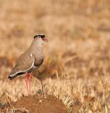 Lone Crowned Plover Royalty Free Stock Photos