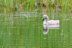 Lone cygnet swan Royalty Free Stock Photo