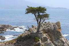 Lone Cypress on 17-Mile Drive. The Lone Cypress perched on a rocky cliff on 17-Mile Drive on Northern California coast between Monterey and Carmel. The cypress Royalty Free Stock Image