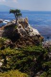 lone cypress Arkivfoto