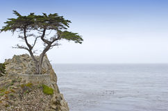 Lone cypress royalty free stock photography