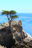 lone cypress arkivbild